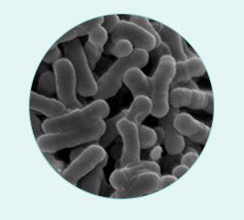 ビフィズス菌の画像